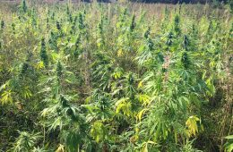 A field of hemp grows in Vermont in the summer of 2015. Photo courtesy of Joel Bedard, Vermont Hemp Company.