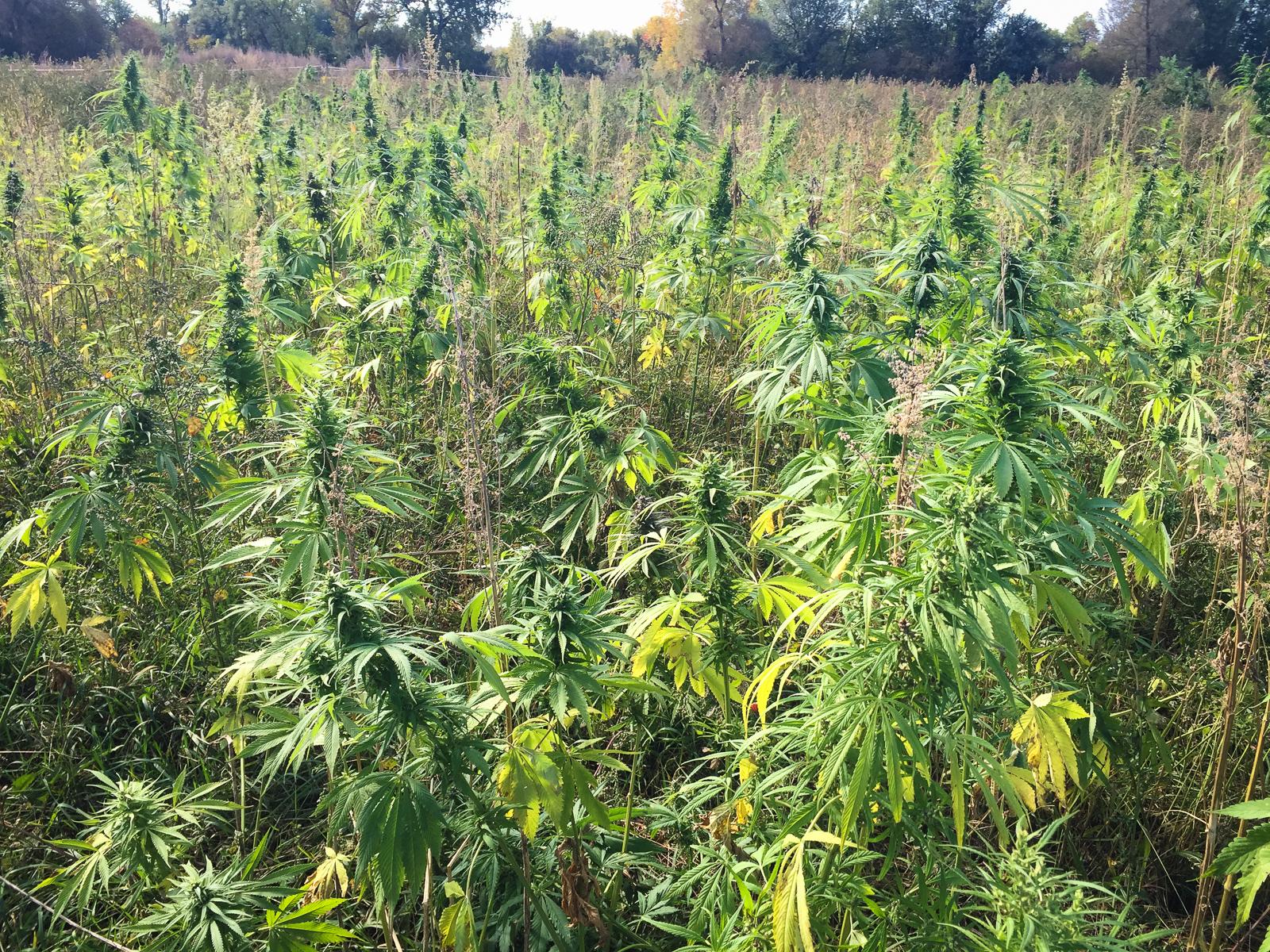 Конопля дальневосточная марихуана особо крупное количество