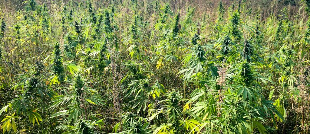 A field of hemp grows in Vermont in the summer of 2015. Photo courtesy of Joel Bedard, Vermont Hemp Company.