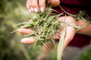 University of Vermont Agronomist and Nutrient Management Specialist Heather Darby inspects hemp on Wednesday, September 28, 2016 in Alburgh, Vermont. by Monica Donovan for Heady Vermont.