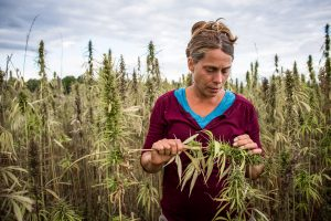 University of Vermont Agronomist and Nutrient Management Specialist Heather Darby in a hemp field ready for harvest on Wednesday, September 28, 2016 in Alburgh, Vermont. by Monica Donovan for Heady Vermont.