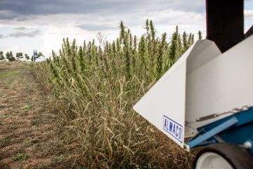Hemp seed heads are harvested at the University of Vermont Extension at Borderview Farm on Wednesday, September 28, 2016 in Alburgh, Vermont. by Monica Donovan for Heady Vermont.