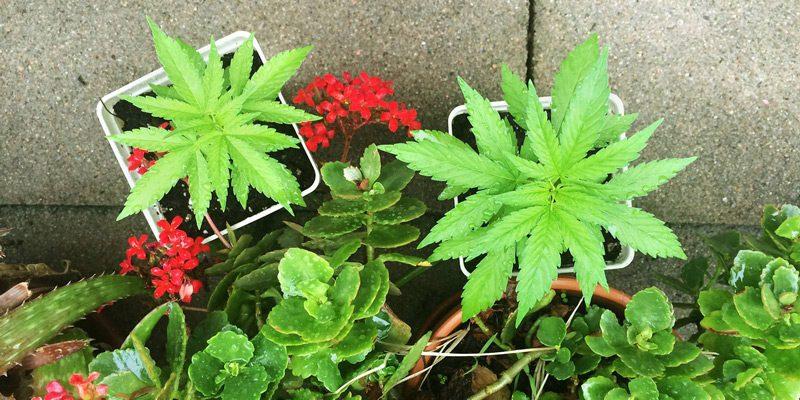 heady vermont cannabis
